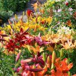 Градински лилии