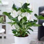 Anthuriums plant ideas to decorate room